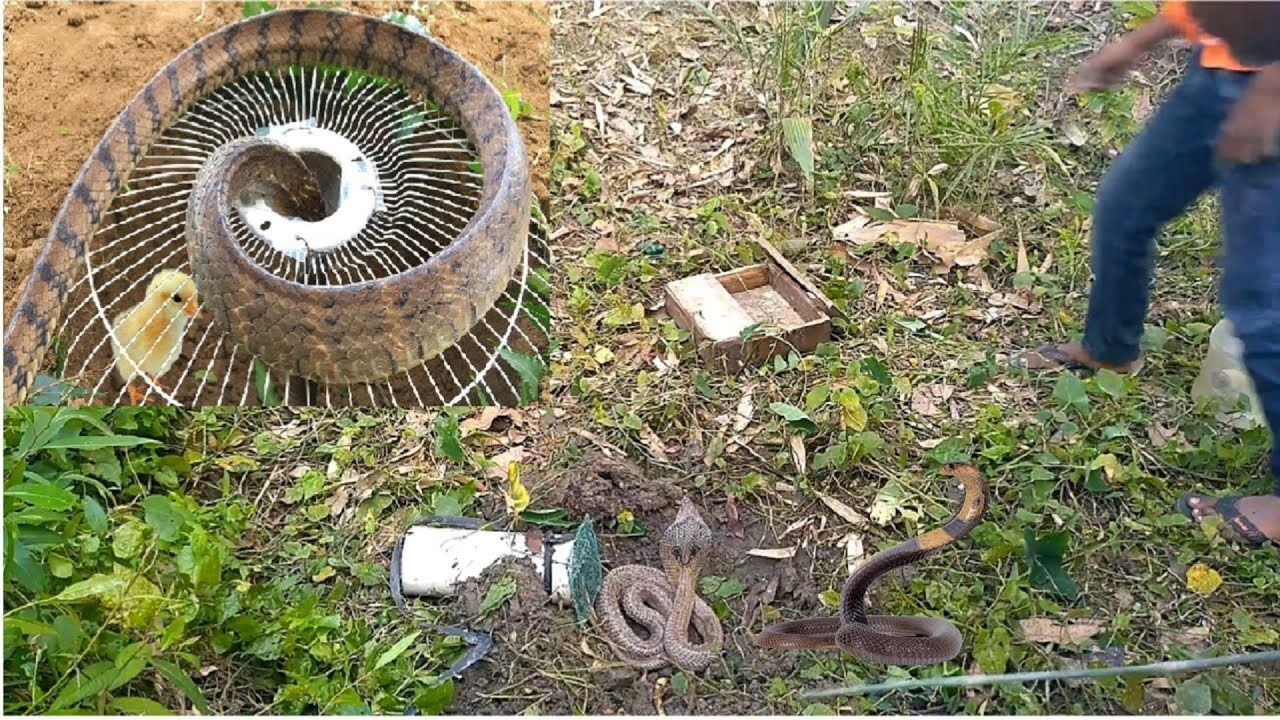 Amazing Snake Trap Using Electric Fan Guard And Digging Hole To