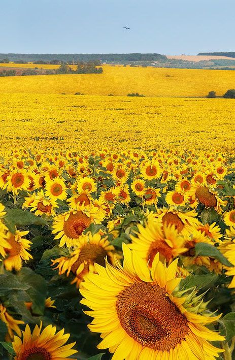 Summer Ukraine Nature Images Flowers Nature Photography Sunflower Pictures Beautiful sunflower field hd wallpaper