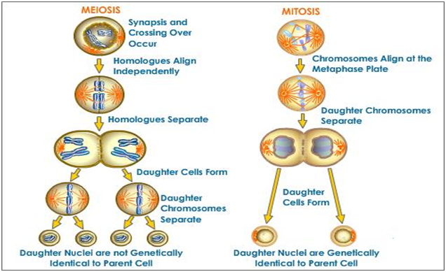 Meiosis Mitosis Mitosis Meiosis Science Cells