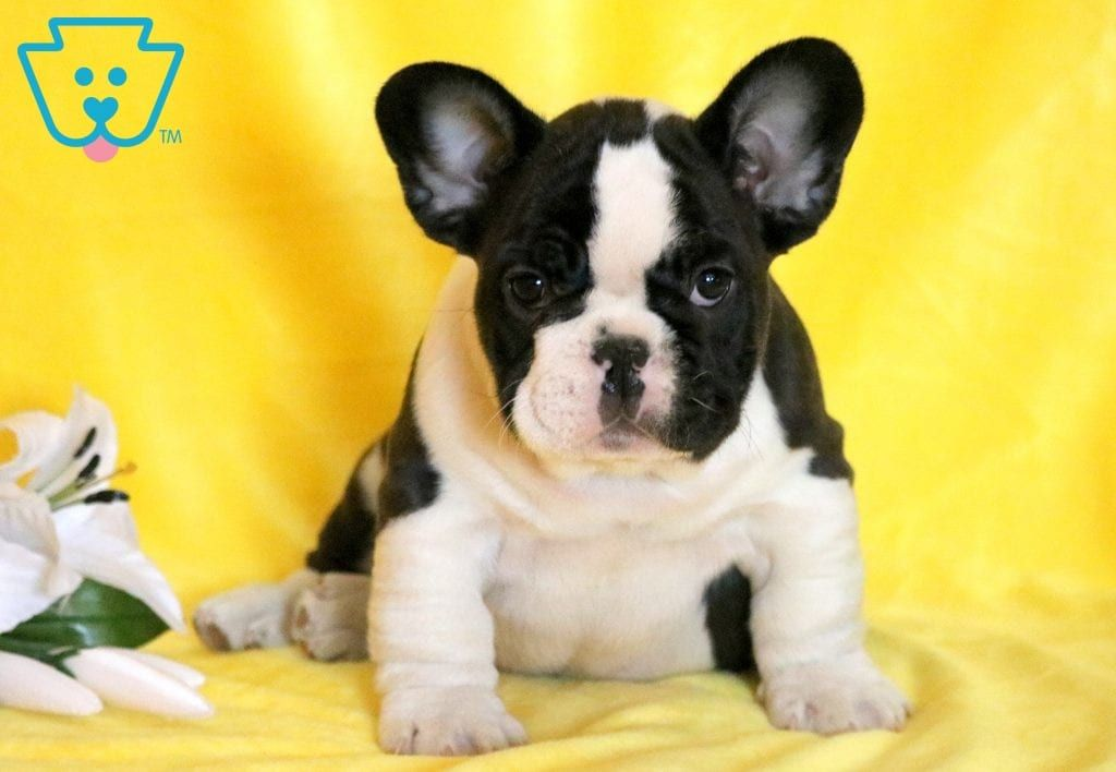 Paws Bulldog Puppies French Bulldog Puppies Bulldog Puppies