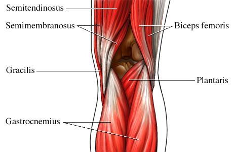 Muscles But Attaches To The Femur At The Back Of The Knee And Runs