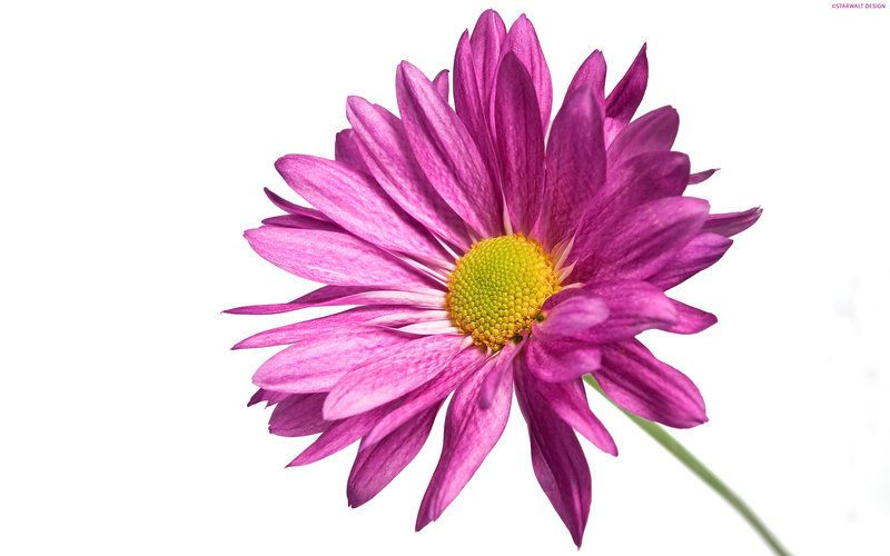 Buy A Bouquet Of Flowers And Put A Single Flower In Random People S Mailboxes Until You Run Out It Will Pink Daisy Wallpaper Dark Purple Flowers Single Flower