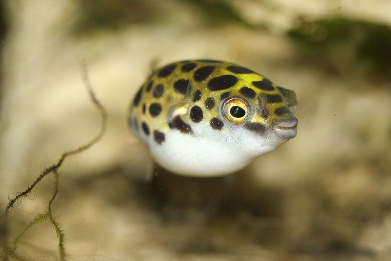 Puffer Fish Tetraodontidae Animals A Z Animals Dwarf Puffer Fish Puffer Fish Animals