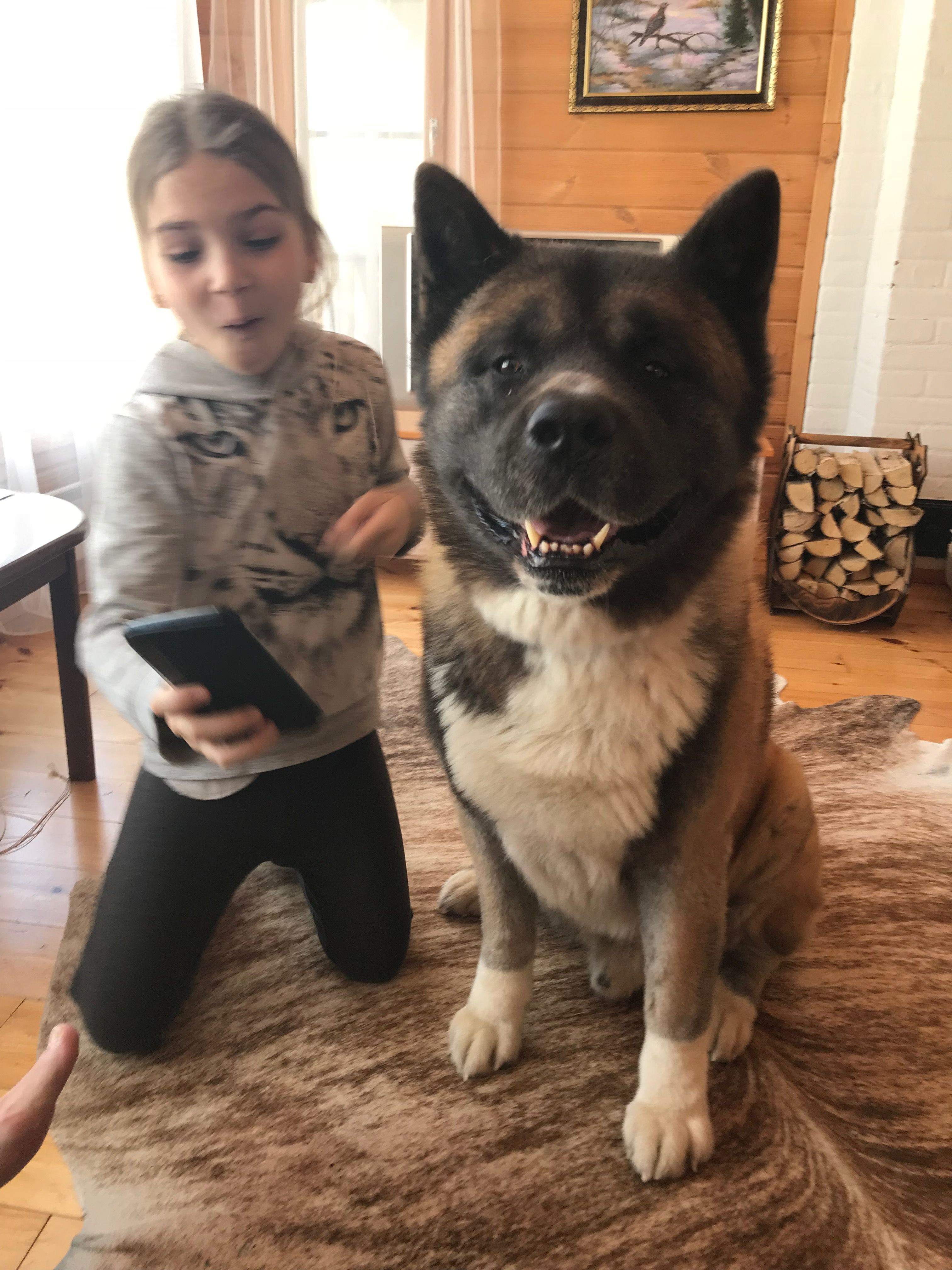 Pin On American Akitas Rufus And Gaze Amerikanskie Akity Rufus I Gejs Amerikanakitat Rufus Ja Gaze