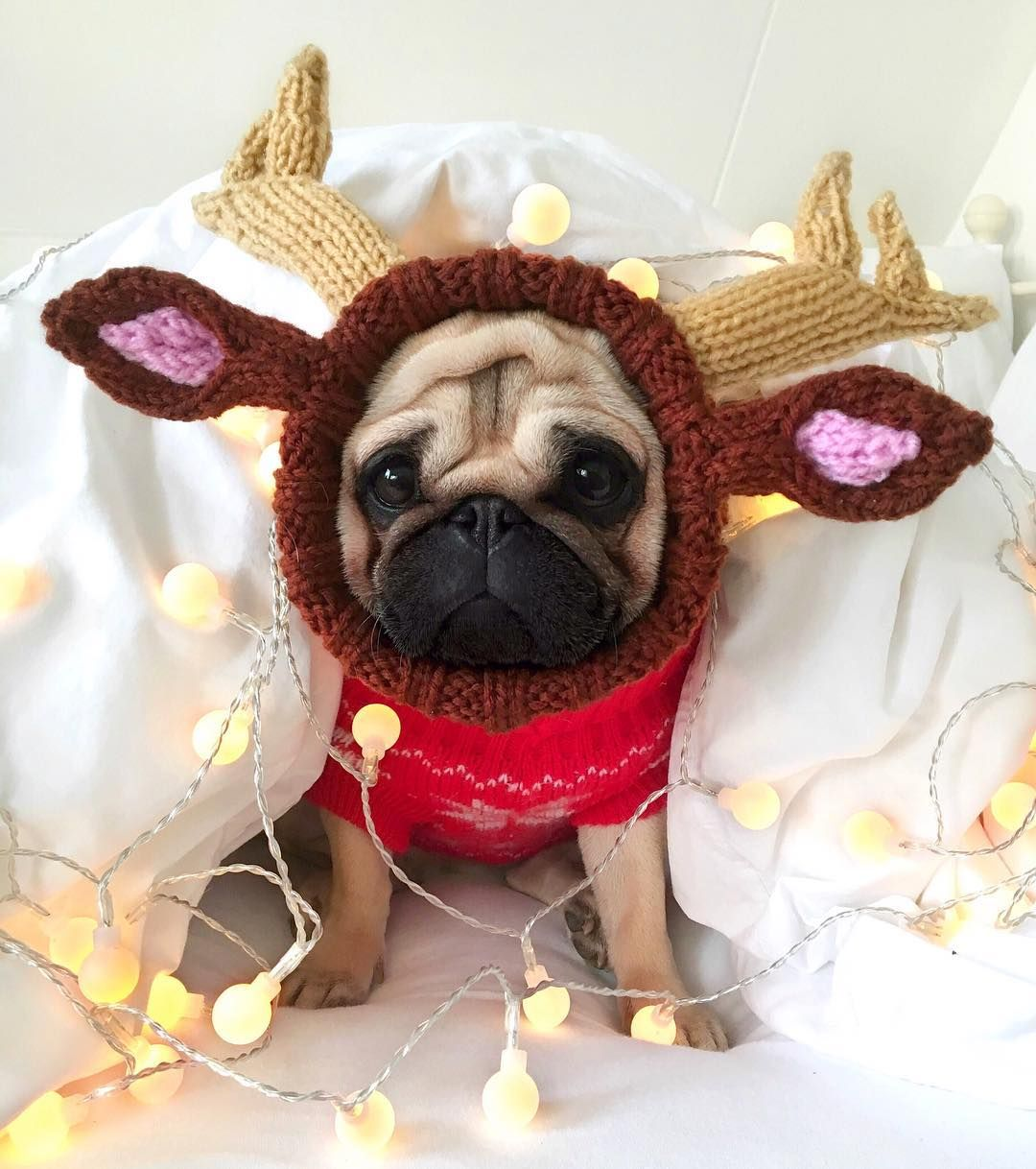 1 915 Likes 30 Comments Loulou The Pug Pugloulou On Instagram Wishing You All A Very Merry Christmas Loulou Cute Pugs Baby Pugs Cute Pug Puppies