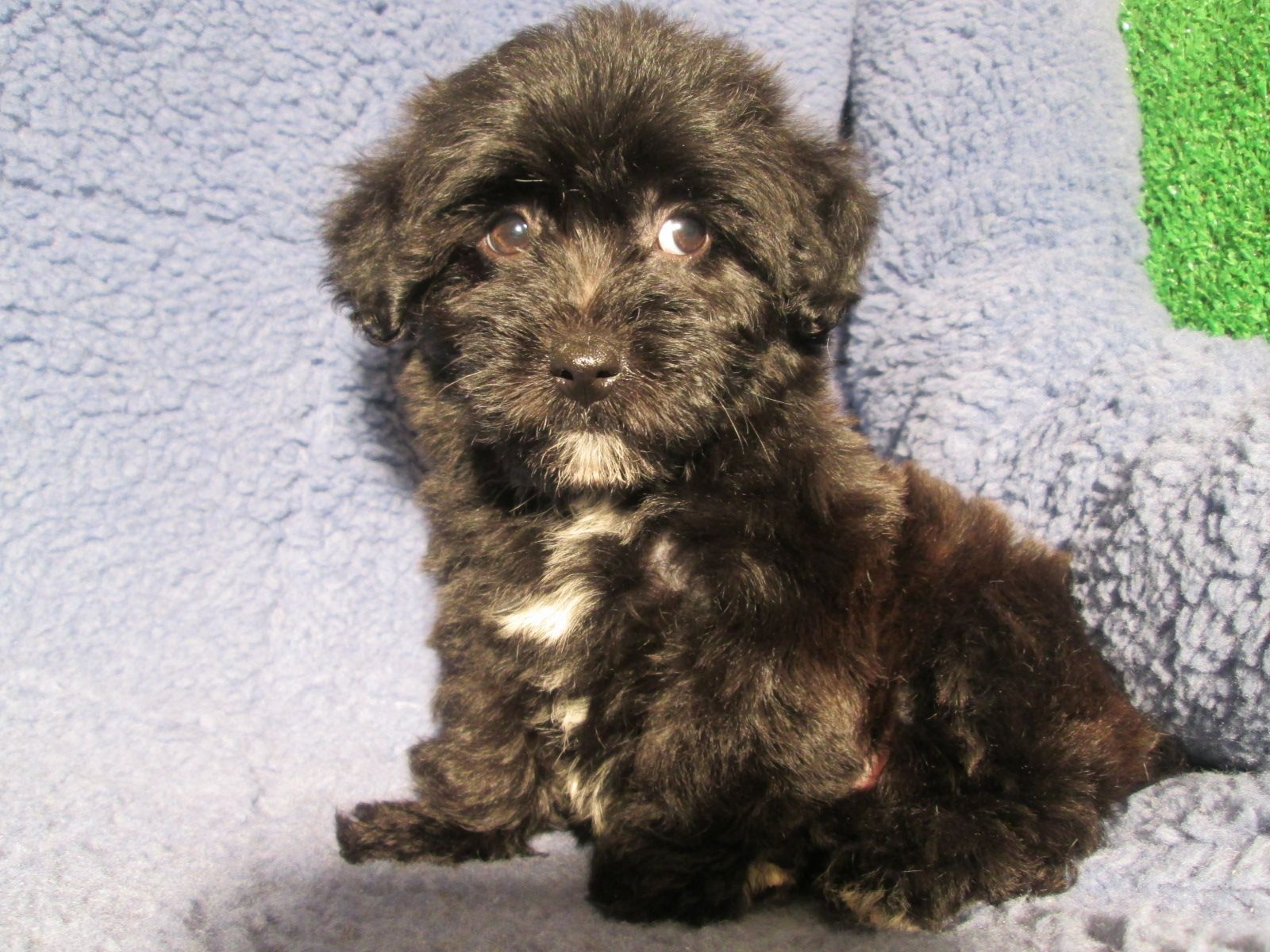 Gorgeous Yochon Puppies Available Yorkie X Bichon Frise 8 12 Weeks Of Age Permanent Shots And W Mixed Breed Puppies Puppies Puppies For Sale
