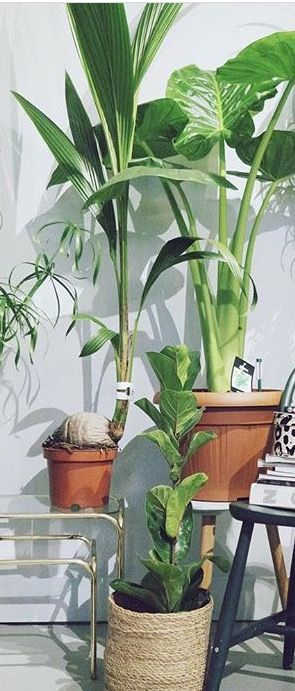 Kokosnootplant