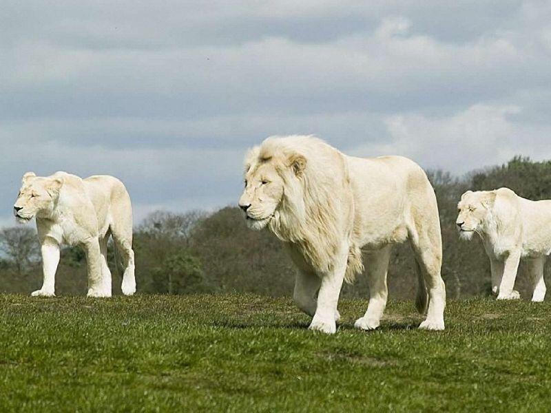 Leones Blancos 2