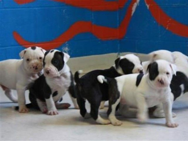 Pet Therapy Dogs Help College Kids Cope With Exam Stress Bulldog Puppies English Bulldog Puppies Puppy Find