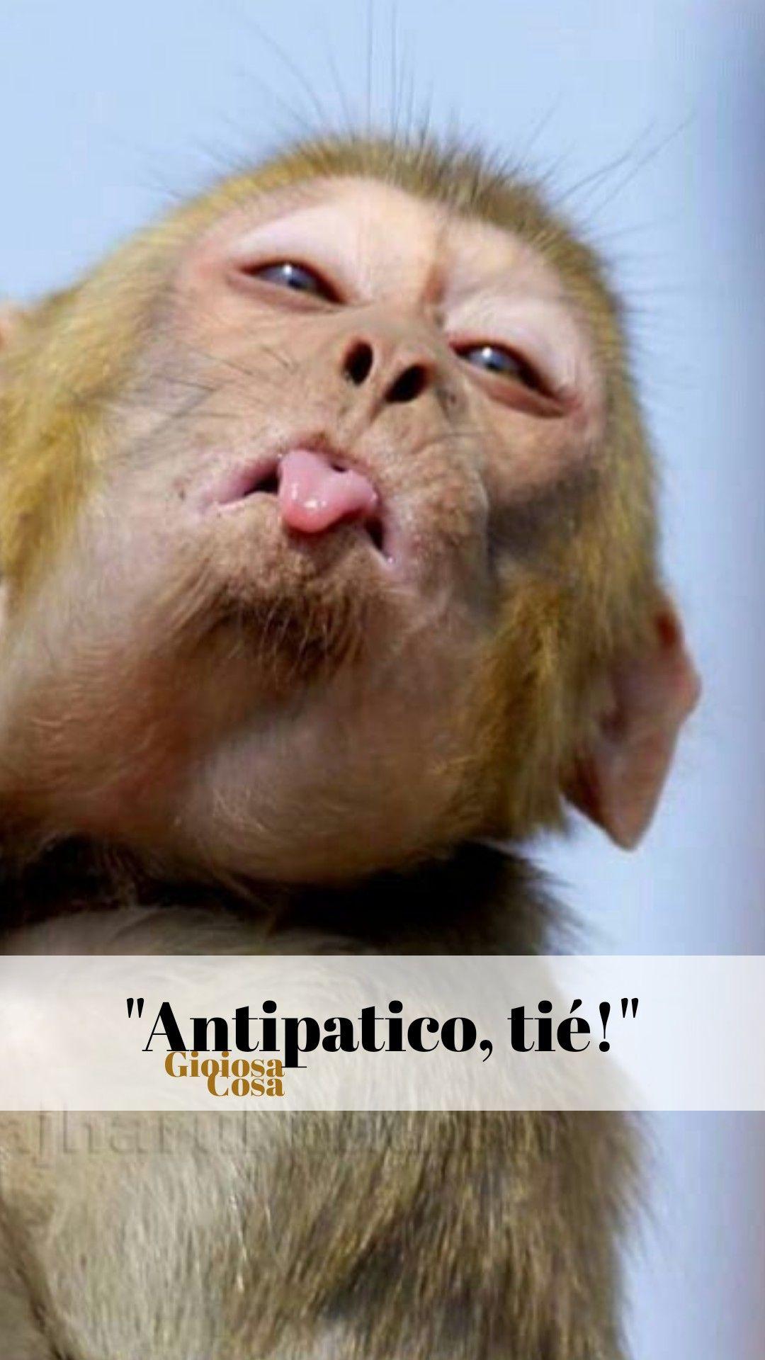 Questa Scimmietta Irriverente Che Fa La Linguaccia E Poi Dice A Me