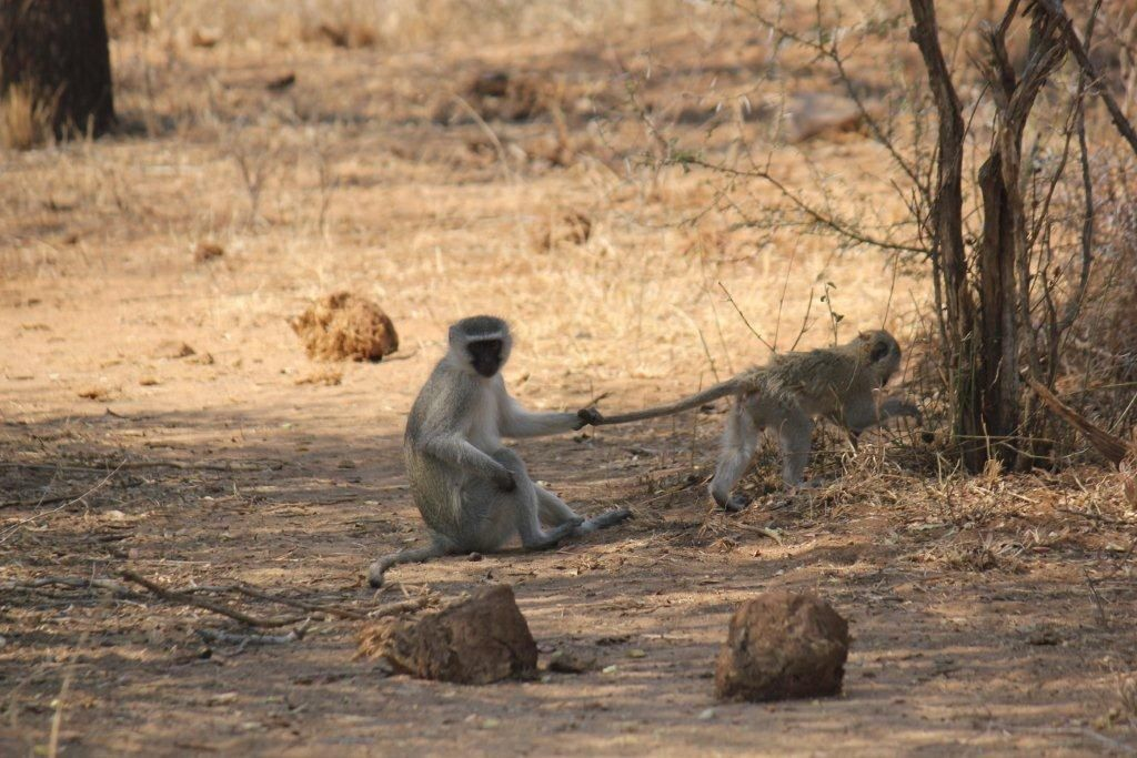 Monkeying about - Kruger Park 2012