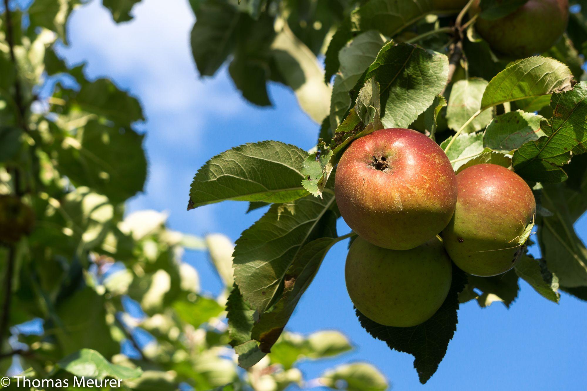 Die letzten Äpfel 2015