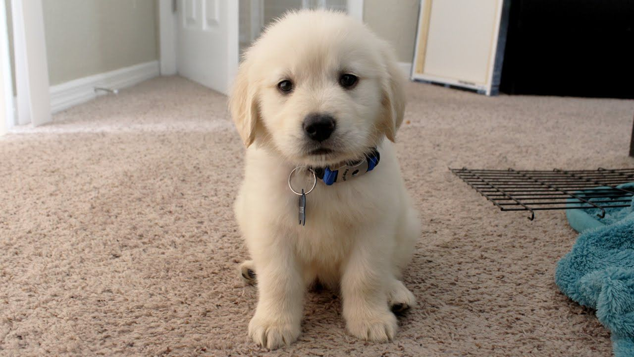 I Got A Puppy Cooper The 8 Week Old Golden Retriever Youtube