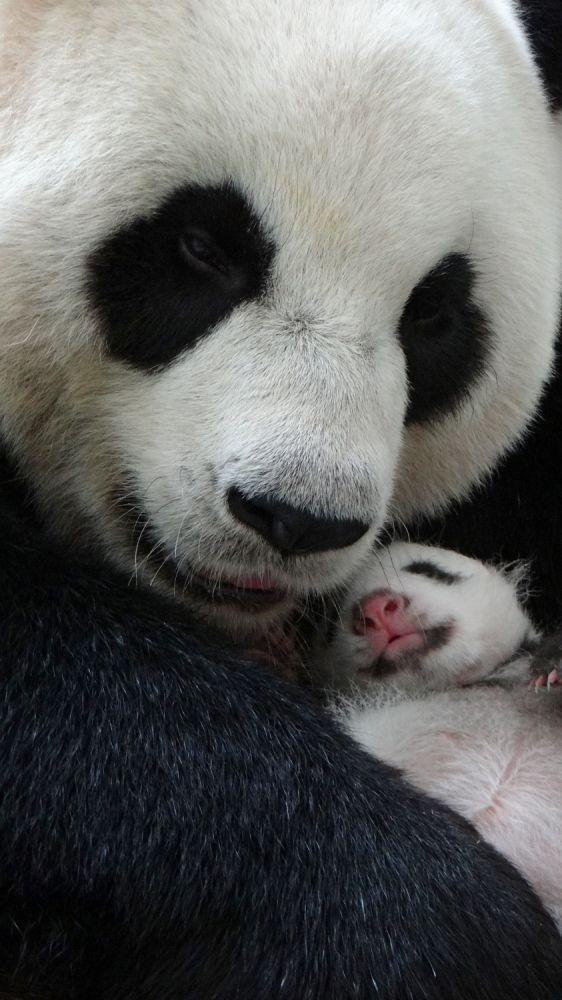 Top 10 ridiculously cute pics of baby panda Yuan Zai #babypandas