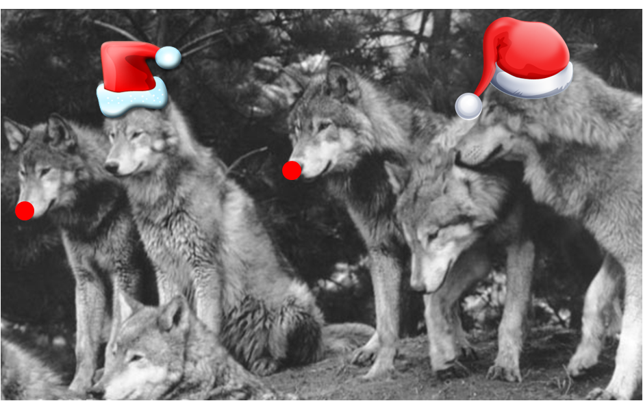 Christmas Wolf.Pin On For The Love Of Wolfs 1 All Things Wolf