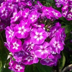 Phlox Laura Long Lasting Flower Purple Flowers How To Attract