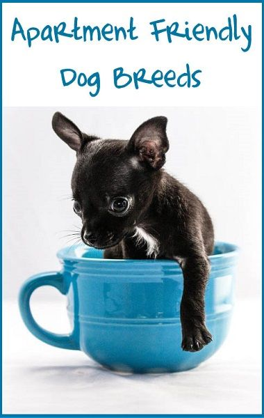 Dogs And Apartments Dog Breeds Friendly Dog Breeds Dogs