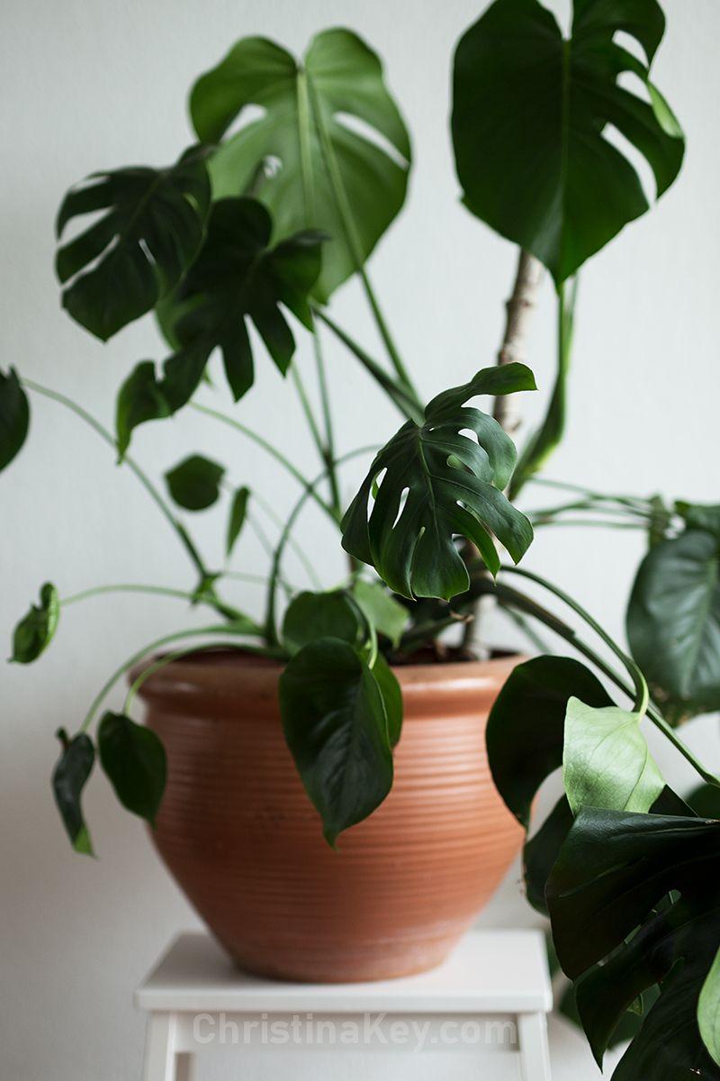 Monstera Vermehren Kreative Fotografie Tipps Und Foto Hacks Monstera Vermehren Monstera Pflanzen