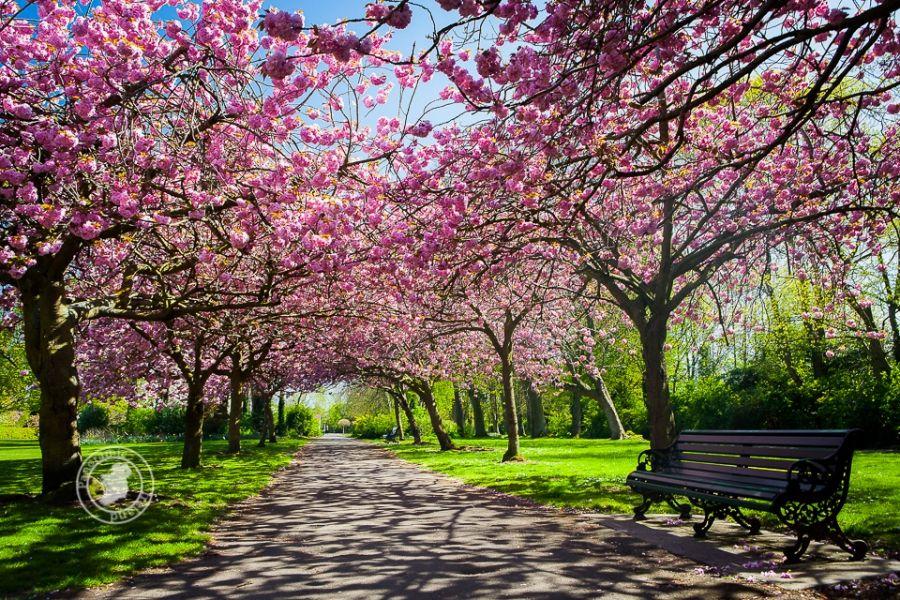Cherry Blossom In Dublin Earth Day Cherry Blossom Blossom Trees