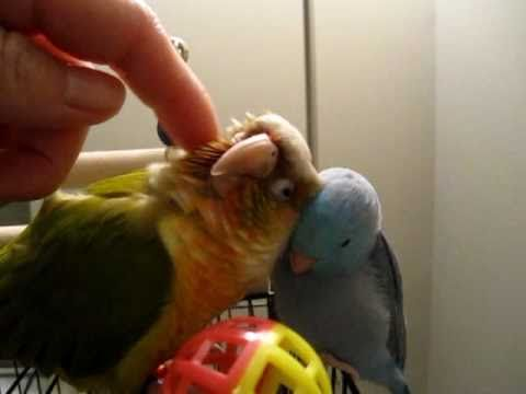 conure n parrotlett
