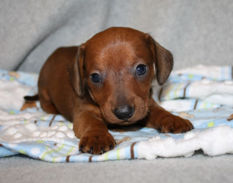 Dachshund Breeders Nc Dachshund Breeder Nc North Carolina English