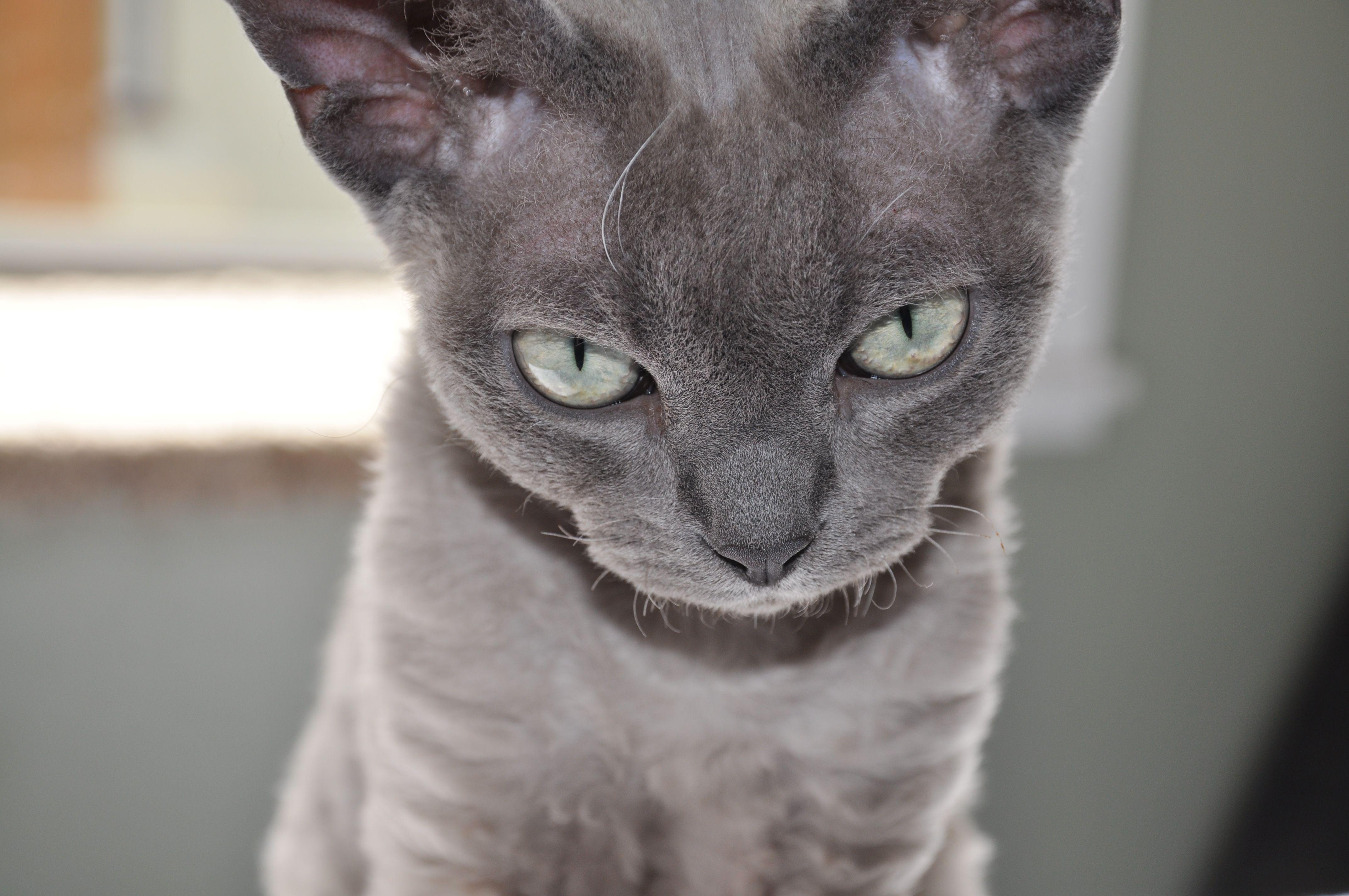Blue Sepia Devon Rex The Best Cat That Has Ever Owned Me Devon