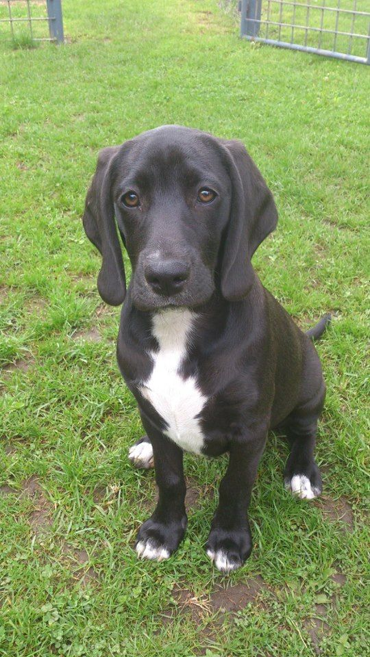 A Weimaraner X Beagle Cross Doesn T Look Too Much Like Either