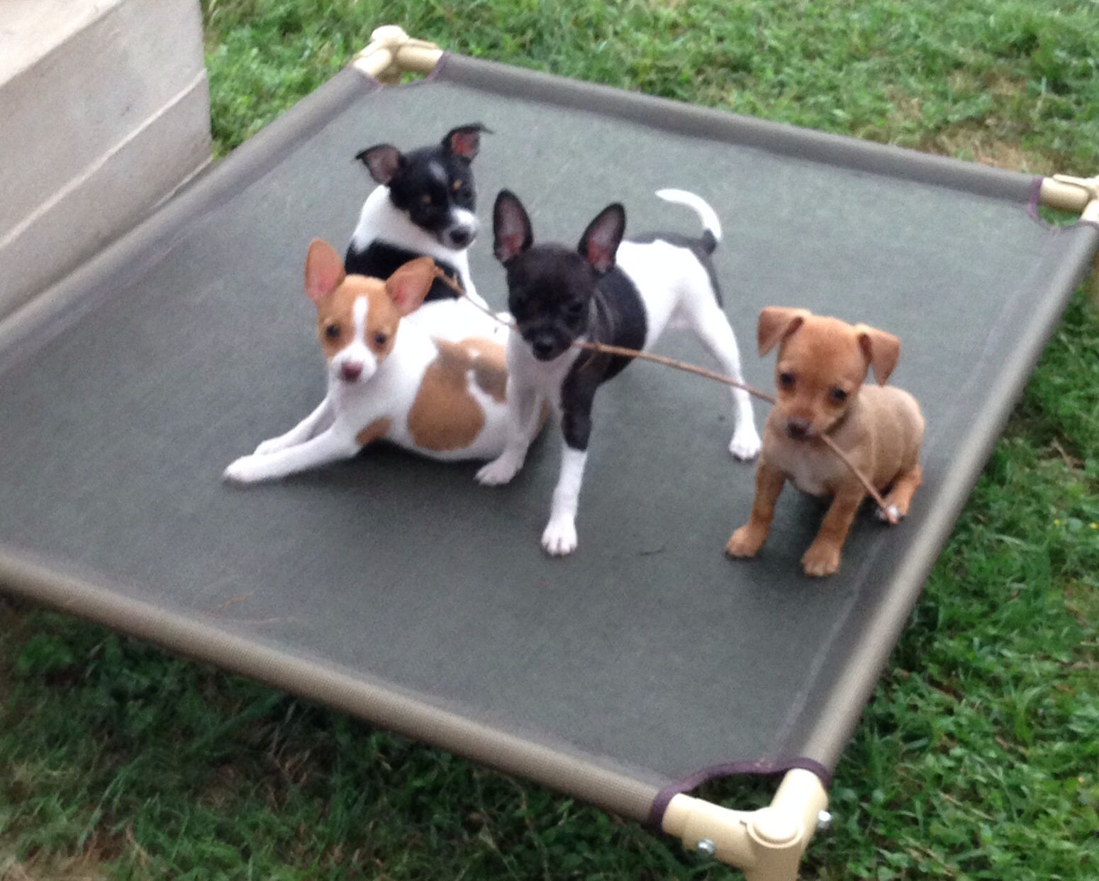 Rat Terrier Puppies Rat Terrier Dogs Rat Terrier Puppies Rat