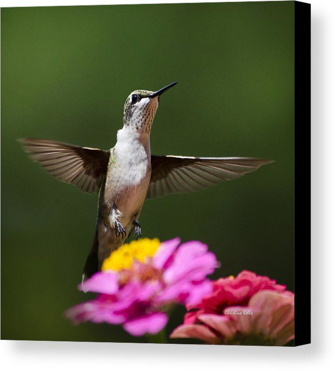 Hummingbird Canvas Print by Christina Rollo.  All canvas prints are…