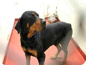 Georgia Urgent Master Id A454640 Is An Adoptable Rottweiler