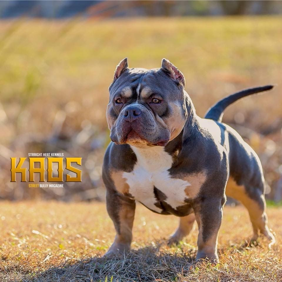 Grch Kaos Bully Dog Bully Breeds Dogs Scary Dogs