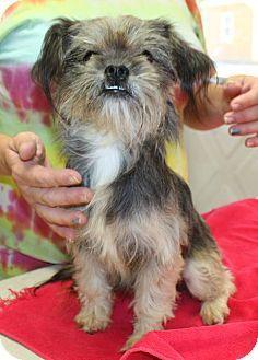Sparta Nj Shih Tzu Chihuahua Mix Meet Farrah A Dog For