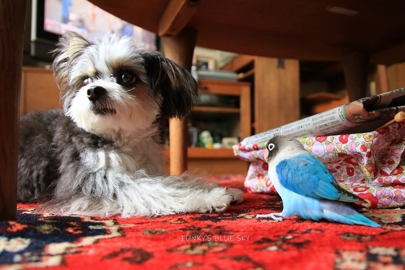 B B Chipo 肉食獣 か弱き小鳥 Funky S Blue Sky ペット 動物 肉食