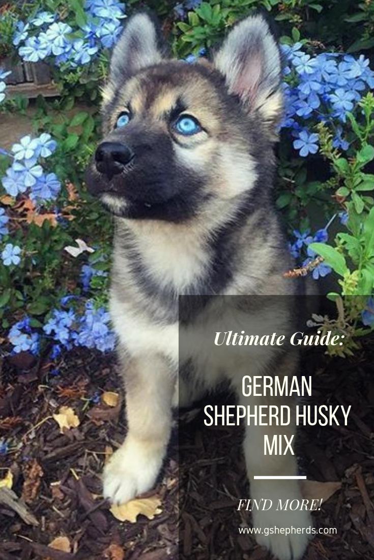 Explore White German Shepherd Puppies Blue In 2020 German Shepherd Husky Mix German Shepherd Husky German Shepherd Puppies