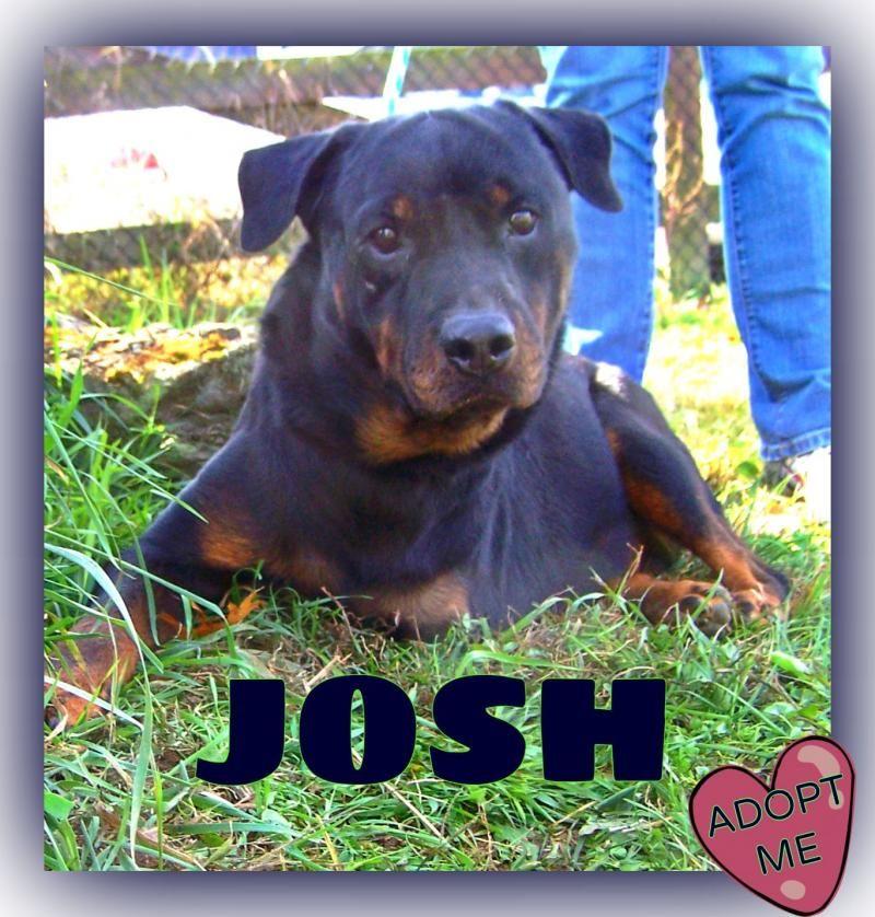 Adopt Josh On Rottweiler Dog Dogs Dogs Puppies