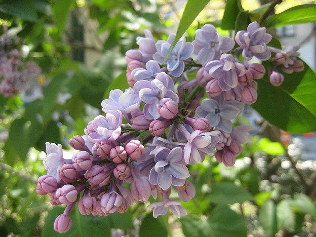 Lilacs Lilac Flowers Inspiration