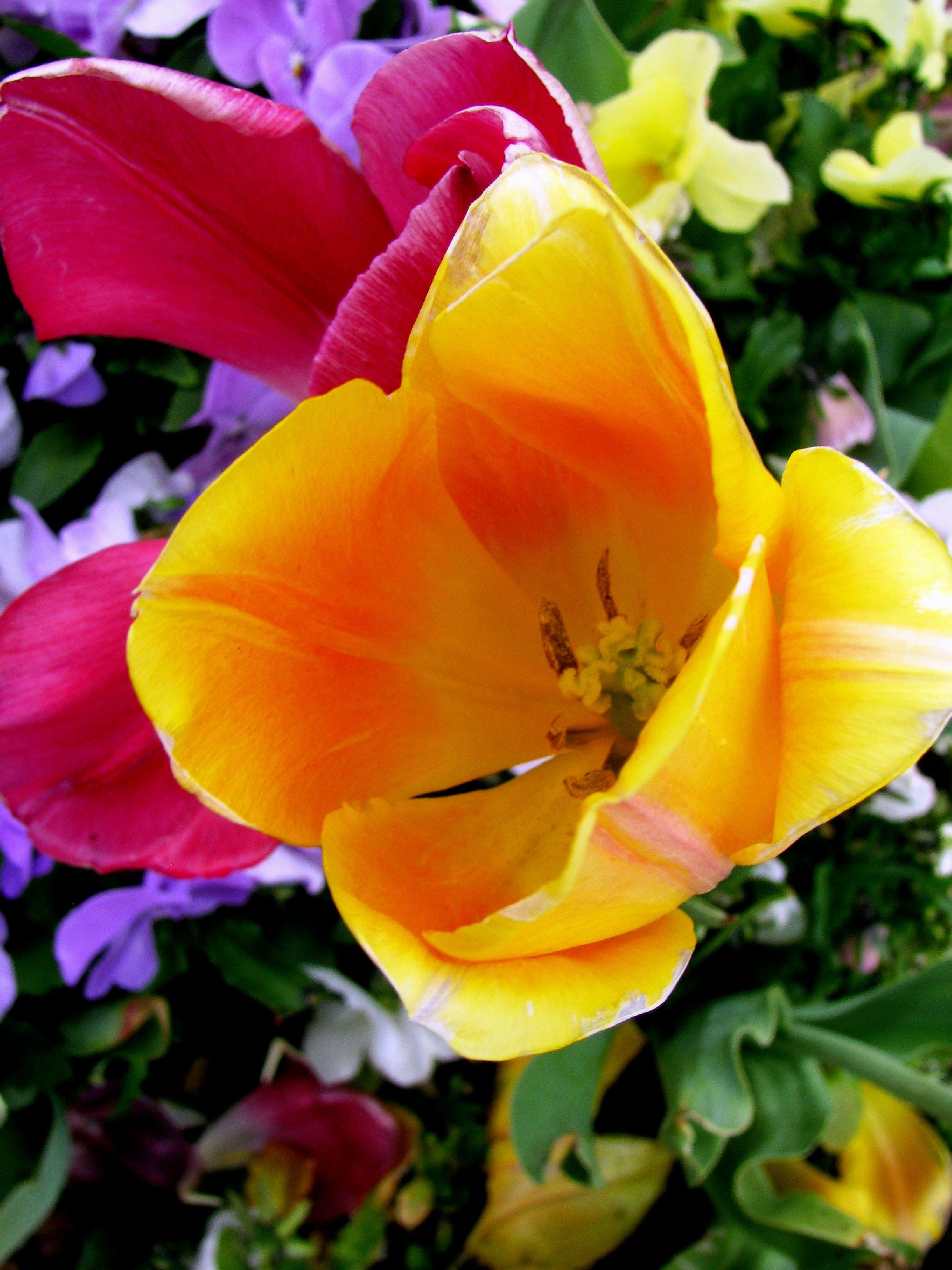 Enchanting Flowers Yellow Orange And Pink Tulips Enchanting