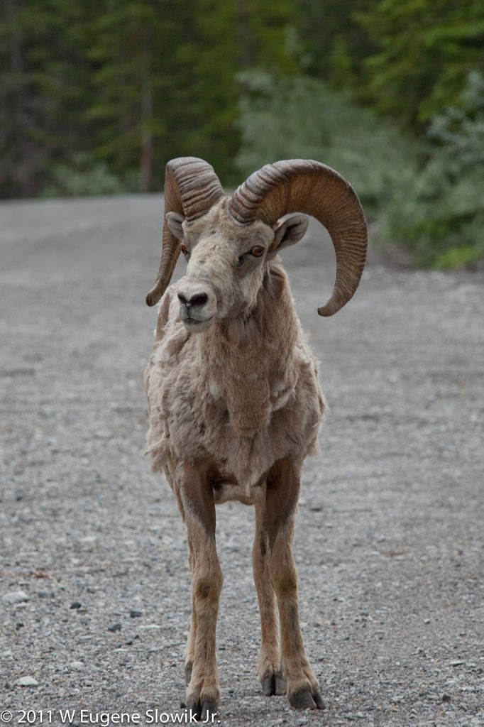 Bighorn sheep (Ovis canadensis) in Road, Canada by weslowik ...