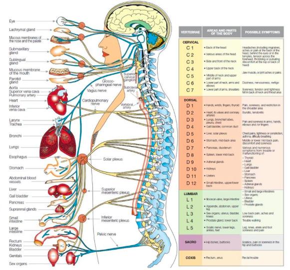 Nerves Organs The Human Body Pinterest Human Body Health