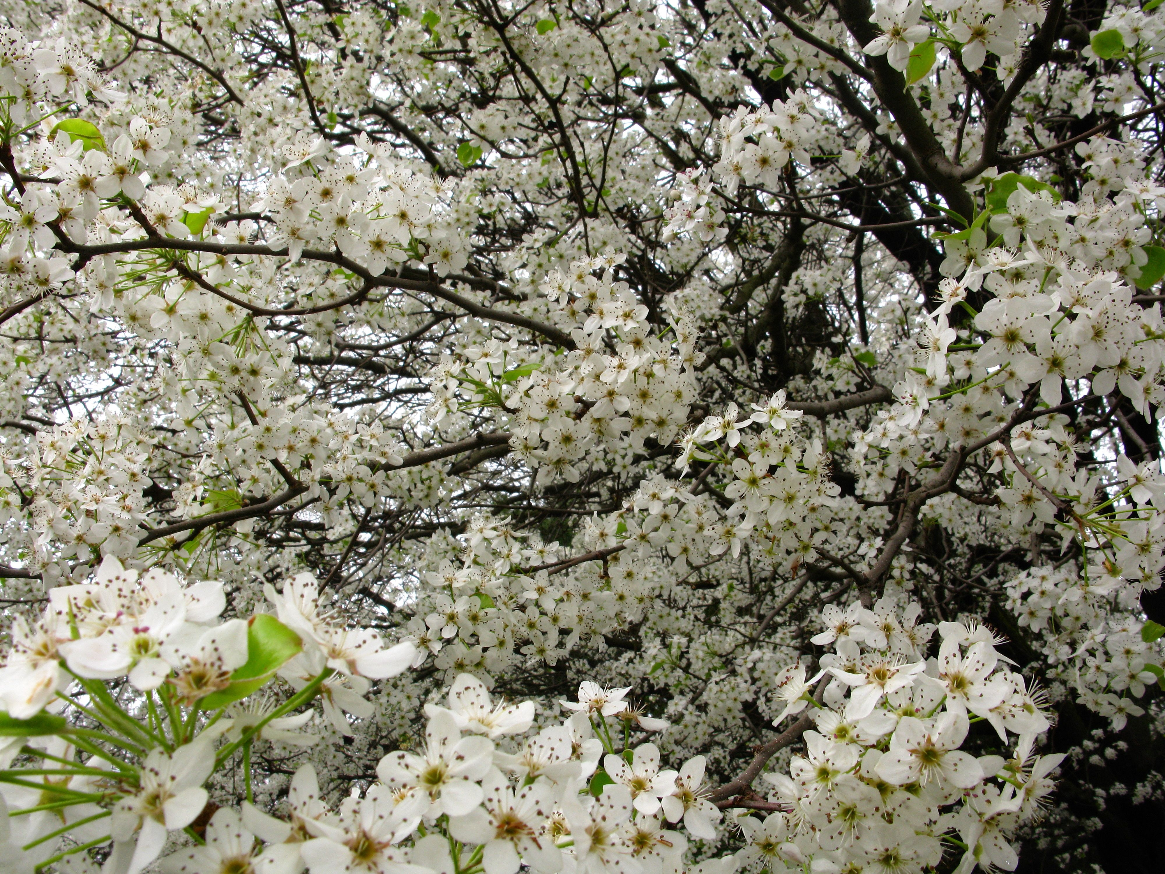 Spring Blooming Trees Flowering Flowers On A Rainy March Day White Pear Bloom
