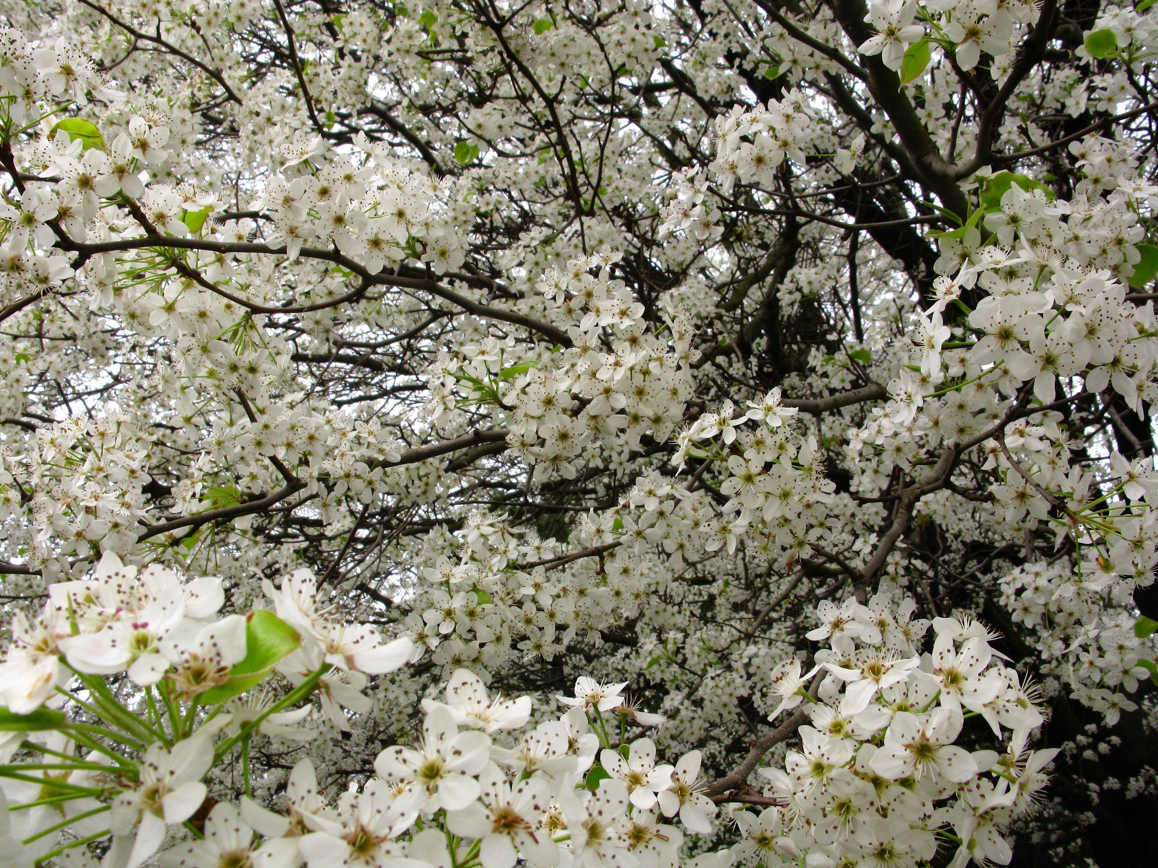Spring blooming trees flowering spring flowers on a rainy march spring blooming trees flowering spring flowers on a rainy march day white pear flowers bloom mightylinksfo