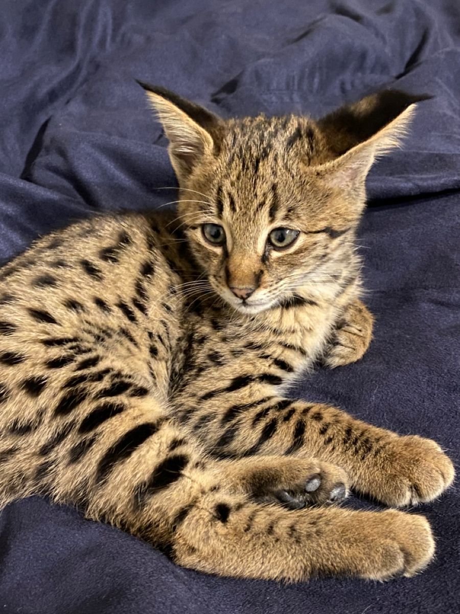 Savannah Cat Serval F1 Savannah Kitten For Sale F1 Savannah Cat For Sale F1 Savannah Cat Breeder F2 In 2020 Savannah Kitten Asian Leopard Cat Savannah Kittens For Sale