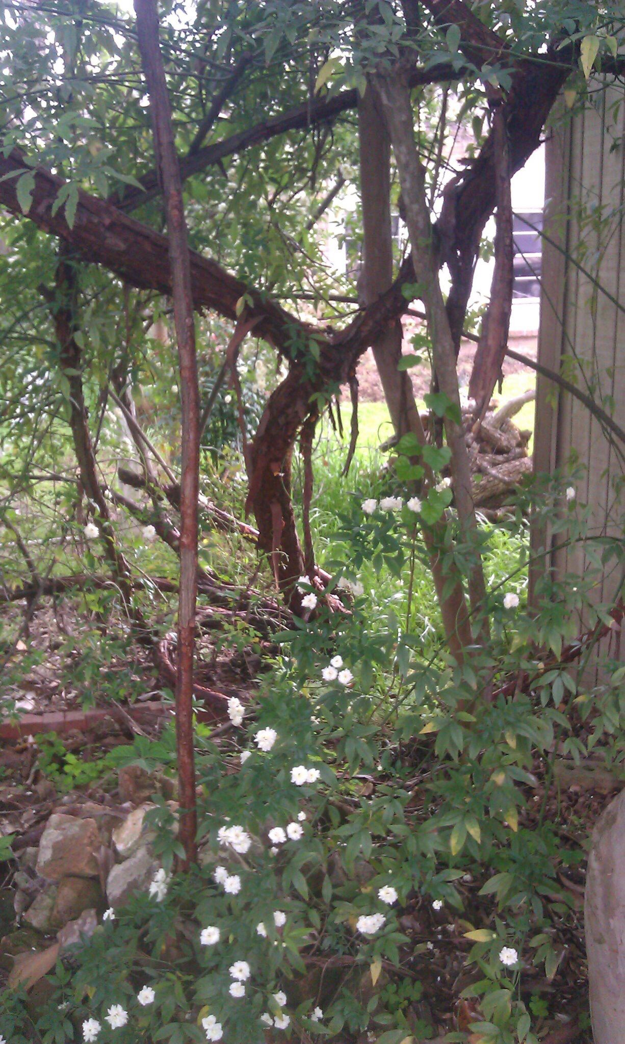 Rose that is over 125 yrs old. It has bark like a tree and