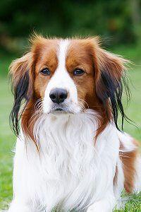 Kooikerhondje Susse Hunderassen Hunde Hunderassen