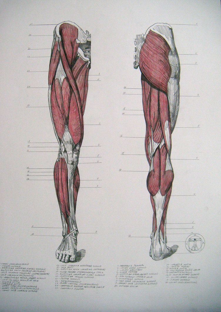 Muscles of legs. Front and back by reinisgailitis on DeviantArt ...