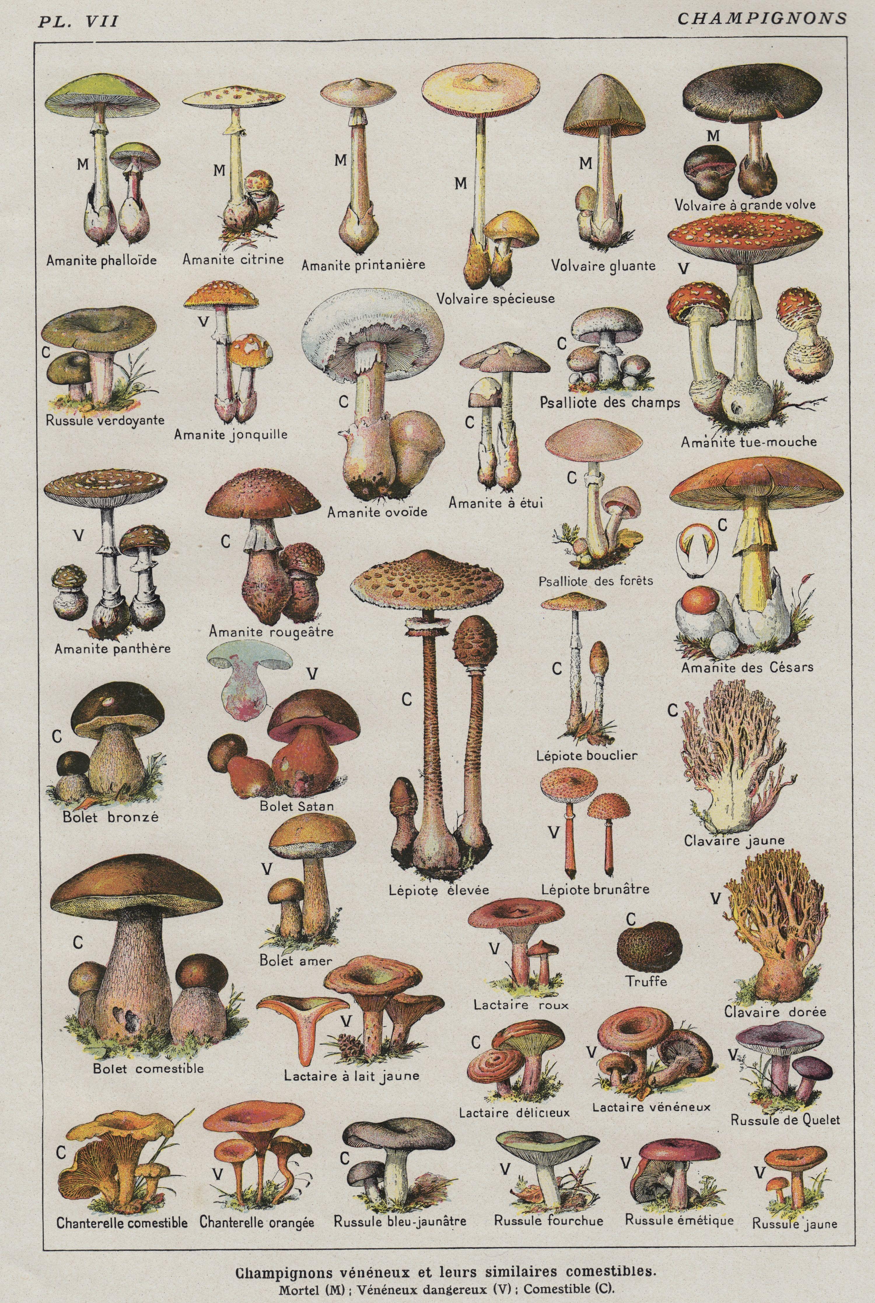 Brand new poster ships rolled in  sturdy corrugated tube also mushroom identification guide mushroomexam online rh pinterest