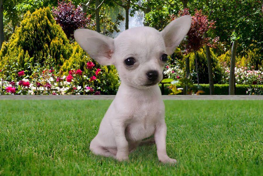 Chihuahua - Cachorros Lozano