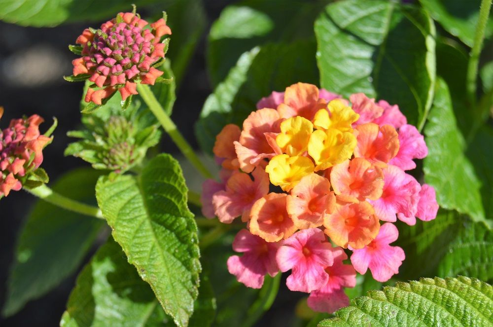 Lantana Camara This Amazing Plant Comes In Many Combinations Of Red Yellow And Orange Flowers In Small Clusters Lanta Plants Making Plant Pots Flower Pots