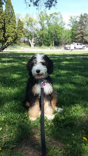 Stella Our Bernedoodle Kittens And Puppies Beautiful Dogs Bernedoodle