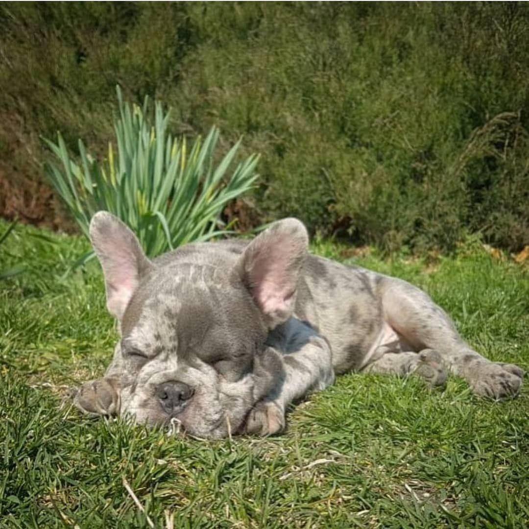 Frenchbulldog Paradise In 2020 French Bulldog Puppies